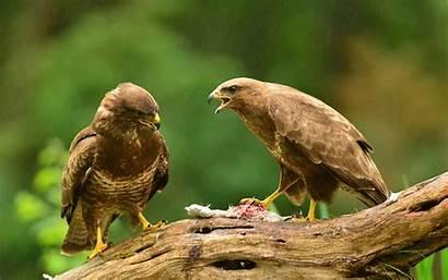 Hawk Bird Prey Desktop Wallpapers Mobile Animal
