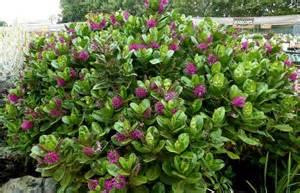 Flowering Evergreen Shrubs Zone 7