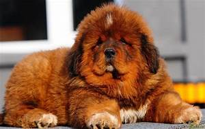 50+ Very Beautiful Tibetan Mastiff Dog Photos And Images