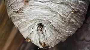 Wespen Im Haus : wespennest entfernen was es kostet und wann es erlaubt ist ~ Lizthompson.info Haus und Dekorationen