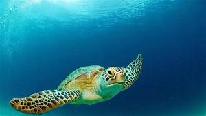What kind of habitat does the green sea turtle like ...