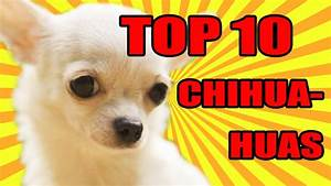 TOP 10 CUTEST DOGS CHIHUAHUA IN THE WORLD!!! 2017!! - YouTube