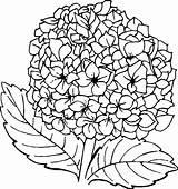 Hydrangea Coloring Pages Flower Coloringpagesfortoddlers Template Credit Larger Dari Disimpan sketch template