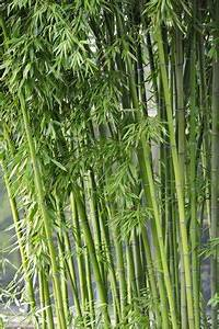 Rhizomsperre Selber Bauen : bambus fargesia yunnanensis keine rhizomsperre 10 samen ~ Lizthompson.info Haus und Dekorationen