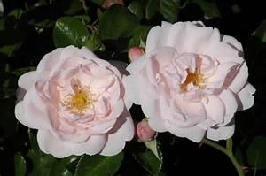 Kletterrose New Dawn : new dawn bilder und erfahrungen zur rose bei schmid ~ Michelbontemps.com Haus und Dekorationen