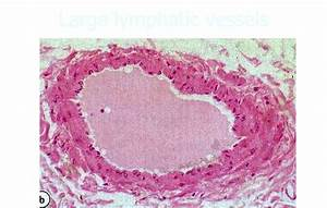 Histology Of Cardiovascular System At University Of