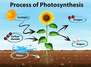 Diagram Showing Process Of Photosynthesis Stock