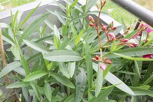 Laurier Rose Entretien : laurier rose nerium oleander conseils d 39 entretien ~ Melissatoandfro.com Idées de Décoration
