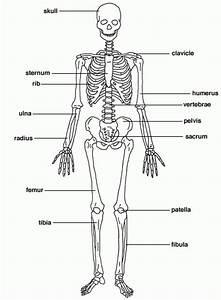 The Skeletal System Diagram Labeled   The Skeletal System