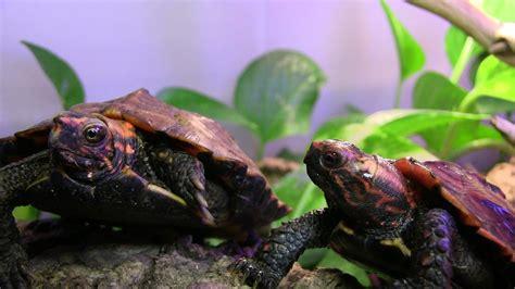 popular pet turtles  popular