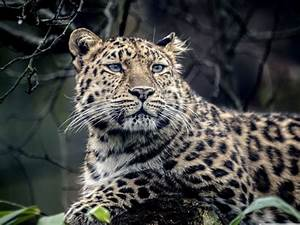 Sad spotted leopard wallpapers and images - wallpapers ...