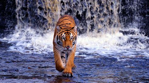 Fond Ecran Tigre Haute Resolution Telecharger