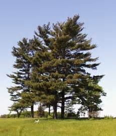 file pinus strobus trees jpg wikimedia commons