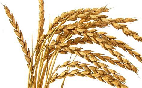 dinkel das portal für bio und naturkost gesundheit und ernährung