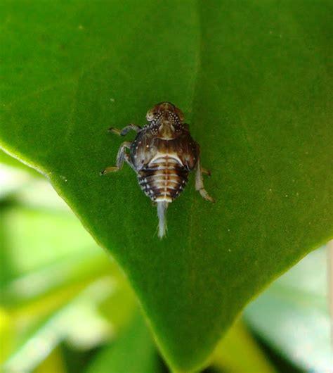 Leafhopper Issus Coleoptratus Nymph  Project Noah