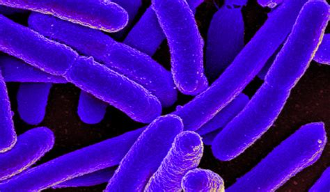How The E. Coli Bacterium Can Benefit Us