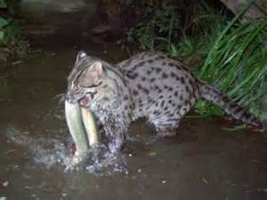 fish for cats cats the fishing cat kimcion