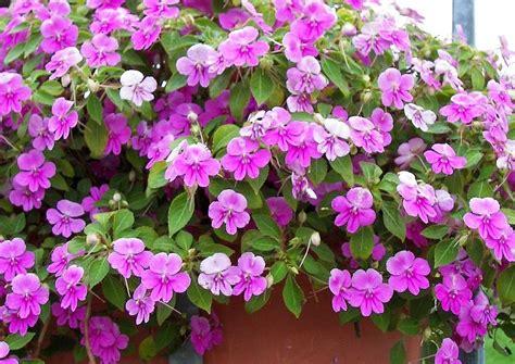 Fleißiges Lieschen Bilder by Impandiens Walleriana Butterfly Lilac Ein Lila