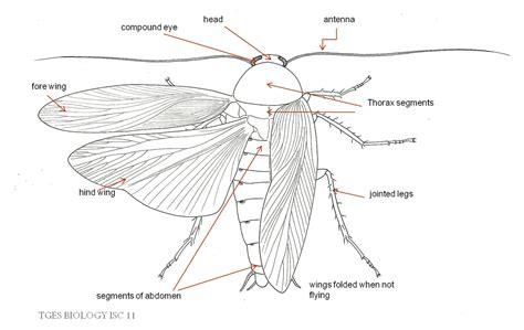 morphology  anatomy  cockroach biologyisc