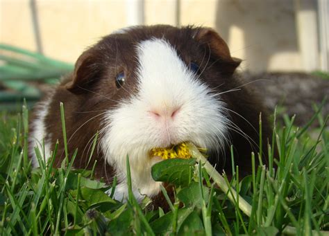 Guinea Pigs   Welcome To Your Pet Space!