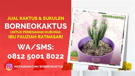 jual kaktus mini hias ngada sms jual