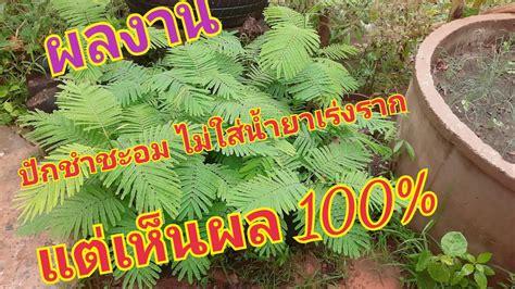 ปักชำชะอมง่ายๆ ไม่ใส่น้ำยาเร่งรากแต่เห็นผล 100% ///Ang bao ...