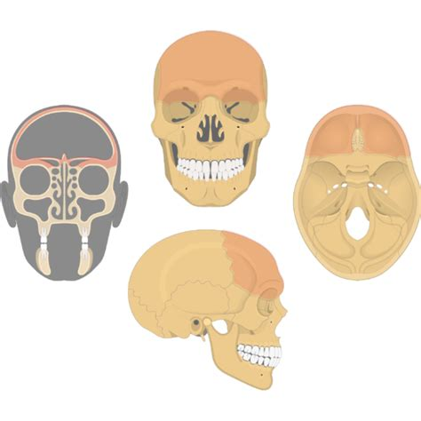 Web based anatomy tutorials by dr donal shanahan from the university of newcastle upon tyne. Frontal Bone Anatomy