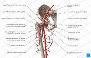 Diagram    Pictures  Femoral Artery And Its Branches  Anatomy