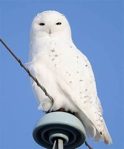 snowy owls | Birds Calgary