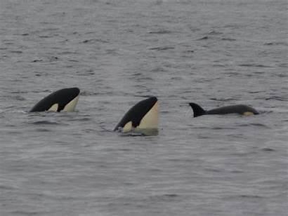 John Groats Dolphin Whales Ferry Killer