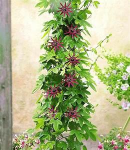 Pflanzen Schattig Winterhart : winterharte passionsblume ladybirds dream 1 pflanze ~ A.2002-acura-tl-radio.info Haus und Dekorationen