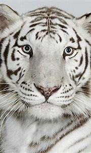 The four types of Bengal tiger (17 photos) - Izismile.com