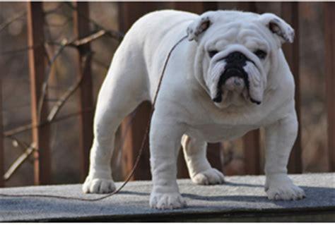 white english bulldog breed guide learn   white