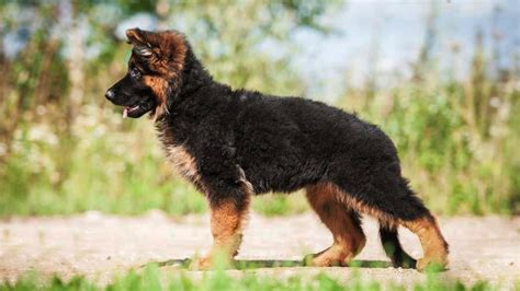 german shepherd dog information characteristics facts