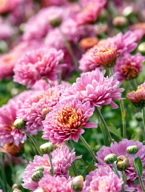 September Plant Pick: Mums - Sloat Garden Center