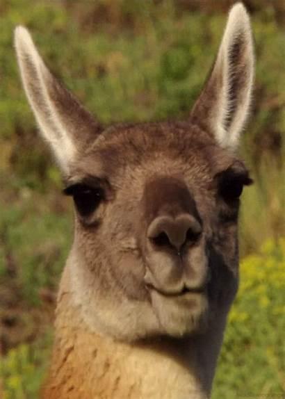 Lama Animals Fanpop Animal Gifs Animated Llama