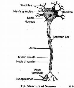 Describe The Microscopic Structure Of A Neuron  Also Draw