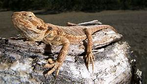 Bearded dragon fun facts food and care