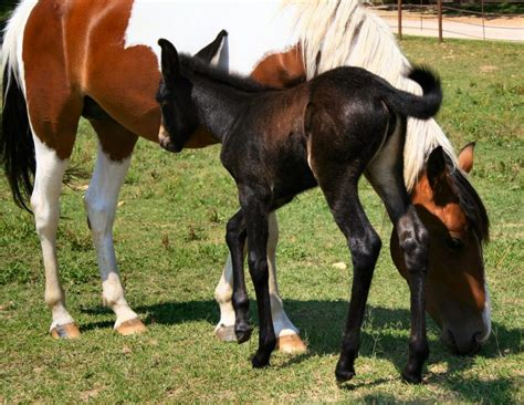 mules horses between ride horse differences most why comparing anotomic