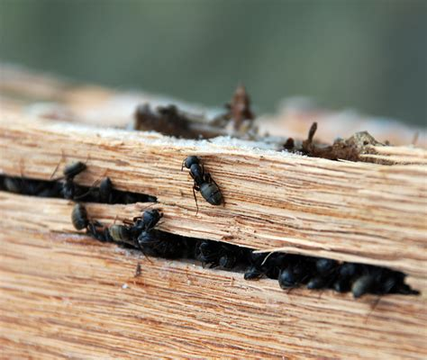 Ants in Winter: Part 1 Camponotus in Diapause – Wild About