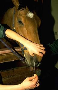 Strangles  Streptococcus Equi Infection  In Horses