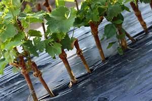 Magnolien Vermehren Durch Stecklinge : weinrebe vermehren mit stecklingen oder absenkern ~ Lizthompson.info Haus und Dekorationen