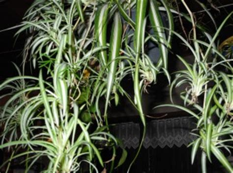 araign馥 dans la chambre la plante araignée phalangère chlorophytum jardiner avec jean paul