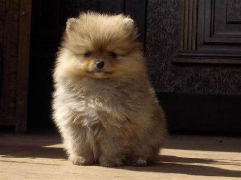 zwergspitz pomeranian mini welpe teddy hund  leipzig