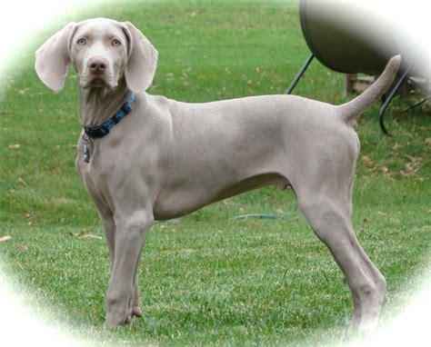 Do Blue Weimaraners Shed by Silver Vs Blue Weimaraner Weimaraner Puppy Breeds