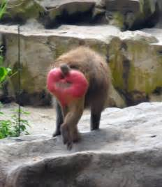 Image result for baboons arse