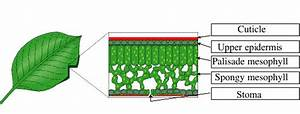 Photosynthesis  U2014 Schools At Look4