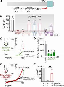Pip2 Depletion Promotes Trpv4 Channel Activity In Mouse