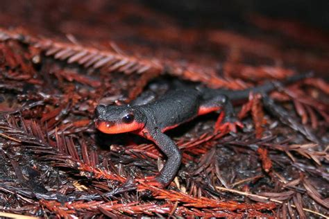 belly newt red bellied newt wikipedia