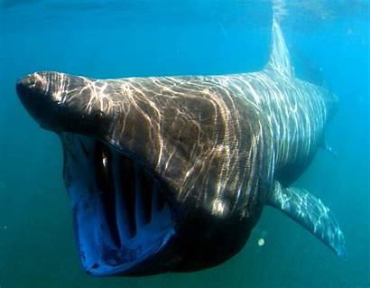 Shark Sharks Basking Scary Looking Whale Fish